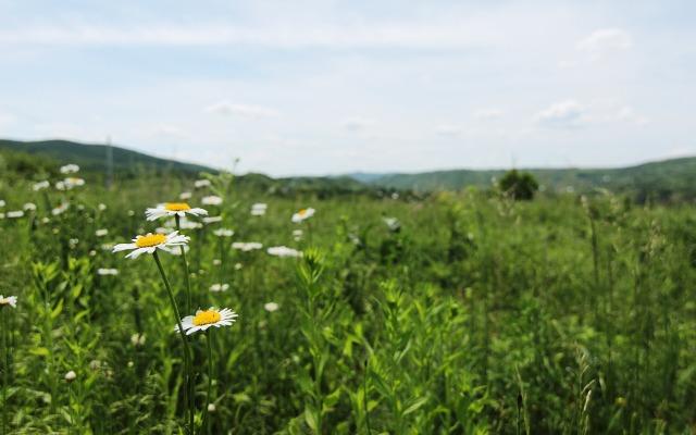 daisy field wallpaper