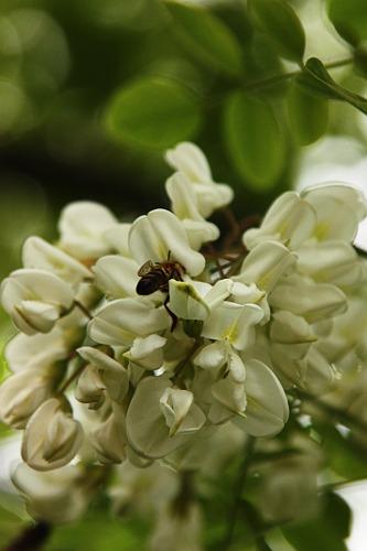Making honey: Black locust / Facind mire: salcim