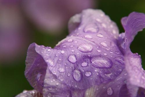 Purple Iris After the Rain