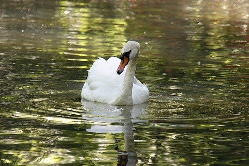 White Swan / Lebada Alba