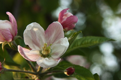 Apple blossom and the bee