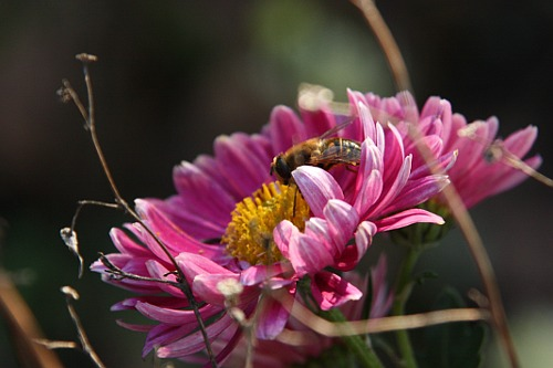 [chrysanthemums and bees]