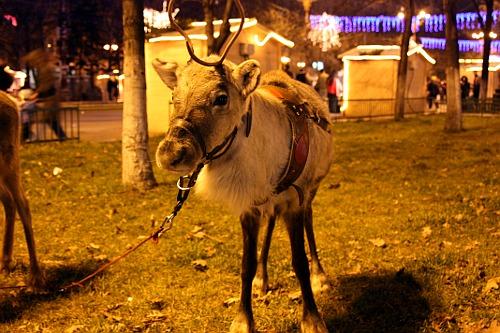 Christmas 2008: Reindeer