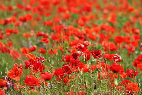 filed of poppies