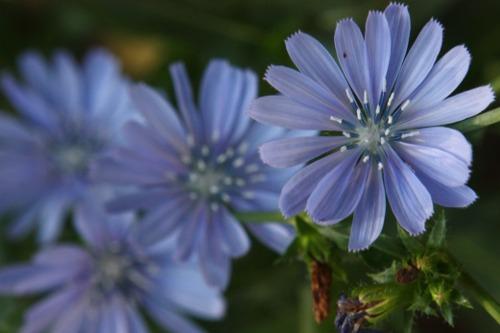Blue chicory / cicoare albastra