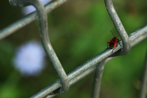 Firebug on the fence