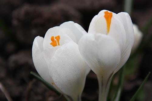 White Crocus / Brinduse Albe