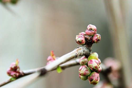 Waiting to Blossom
