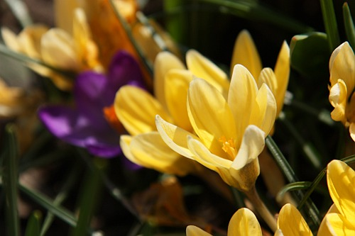 Yellow and Purple Crocus / Brinduse Galbene si Mov