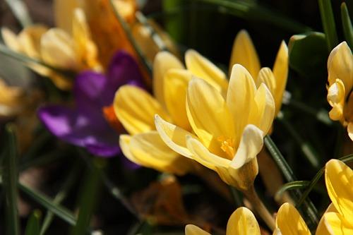 Yellow and Purple Crocus / Brinduse Galbene si Mov
