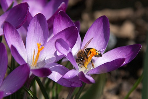 Purple Crocus / Brinduse Mov and a Bee