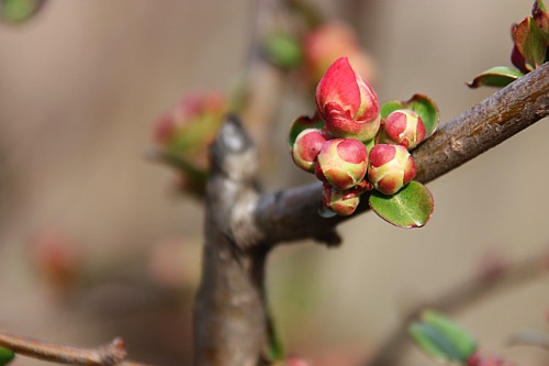 Buds in my garden, waiting for the spring