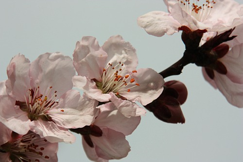 Blossoming trees: Apricot