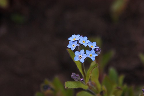 Blue Forget-Me-Not / Nu-Ma-Uita Albastre