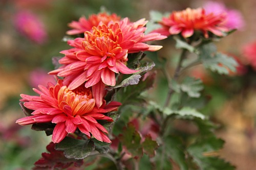 Autumn flowers: Chrysanthemums