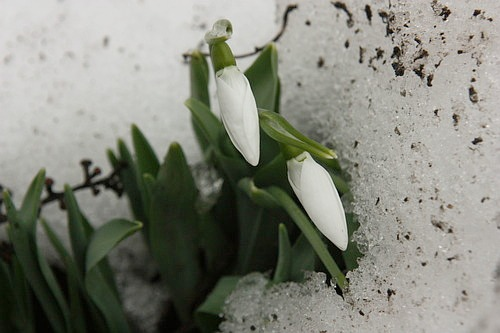 snowdrops /ghiocei