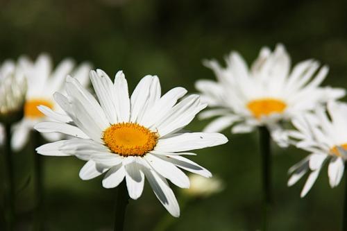 Daisies / Margarete