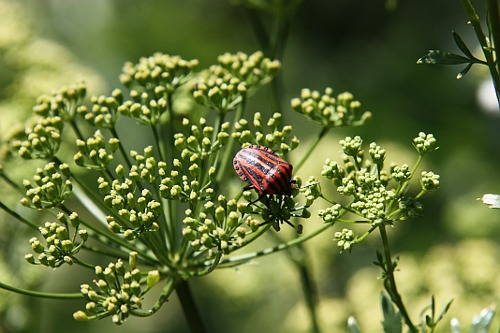A bug on my dill / Gindac pe marar