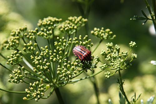 A bug on my dill / Gindac pe marar