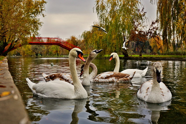 Swans in the autumn