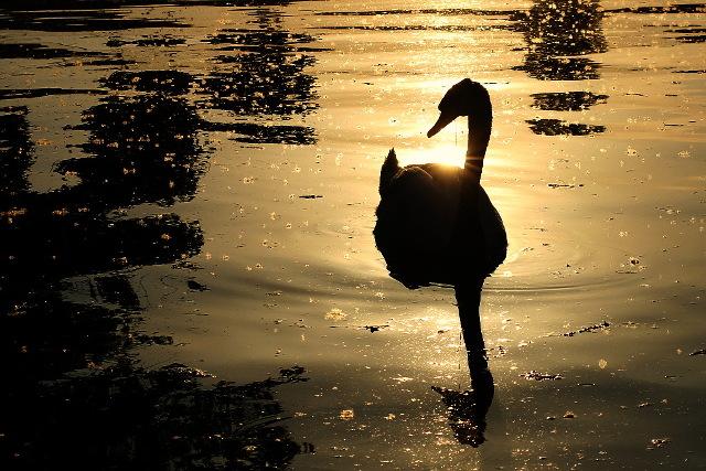 swan black