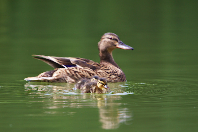 Duckling encounter
