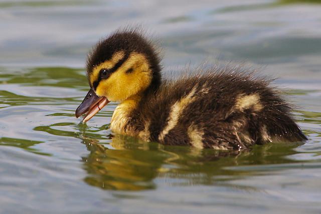 Close duck