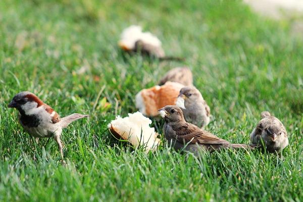sparrows dinner
