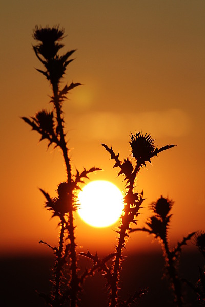 thistle in the sunrise