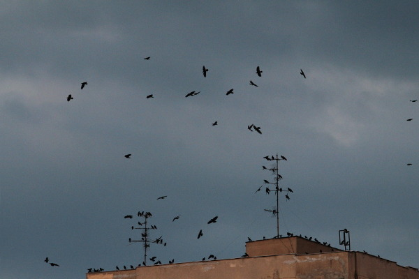 crows over the city