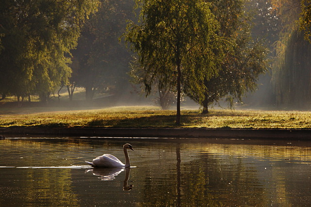 Autumn morning with swan