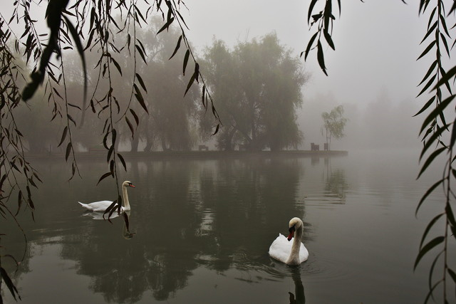 Swans in frame