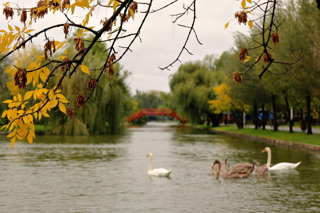 autumn with swans