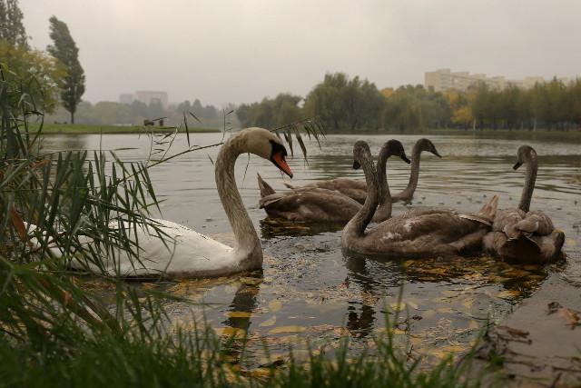 last swans