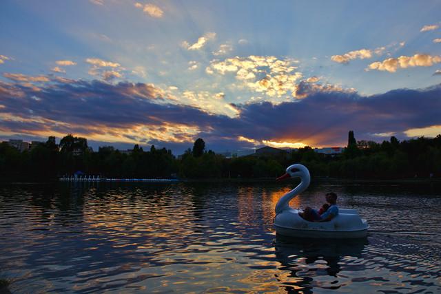 Kind of swan